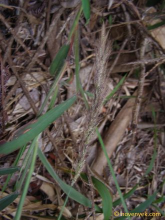 Image of undetermined plant Cuba Poaceae (1)