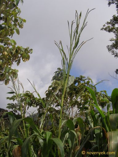 Image of undetermined plant Cuba Poaceae (2)
