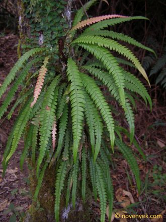 Image of undetermined plant Cuba Pteridophyta (12)