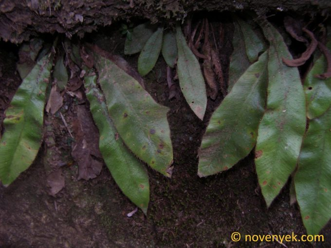 Image of undetermined plant Cuba Pteridophyta (2)