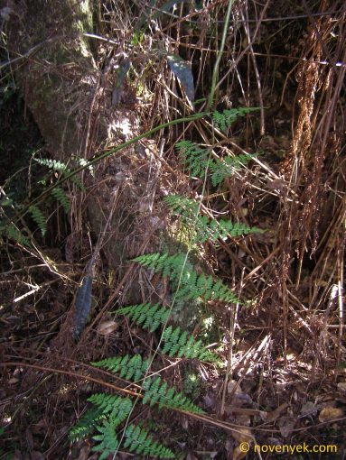 Image of undetermined plant Cuba Pteridophyta (26)