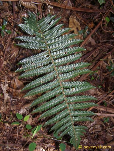 Image of undetermined plant Cuba Pteridophyta (27)