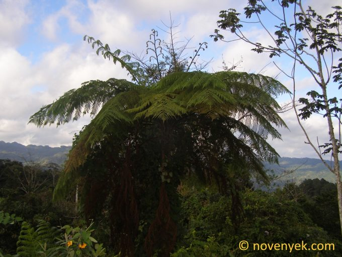Image of undetermined plant Cuba Pteridophyta (31)