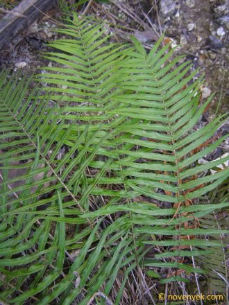 Image of undetermined plant Cuba Pteridophyta (36)