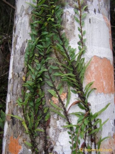 Image of undetermined plant Cuba Pteridophyta (4)