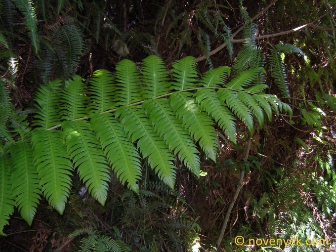 Image of undetermined plant Cuba Pteridophyta (5)