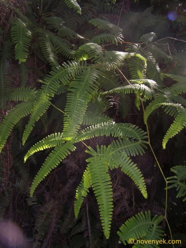 Image of undetermined plant Cuba Pteridophyta (7)