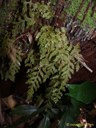 Image of undetermined plant Cuba Pteridophyta (8)