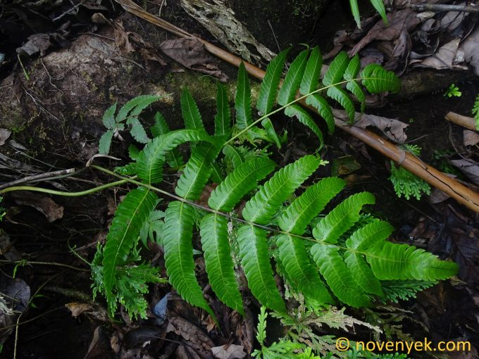 Image of undetermined plant Dominica Pteridophyta