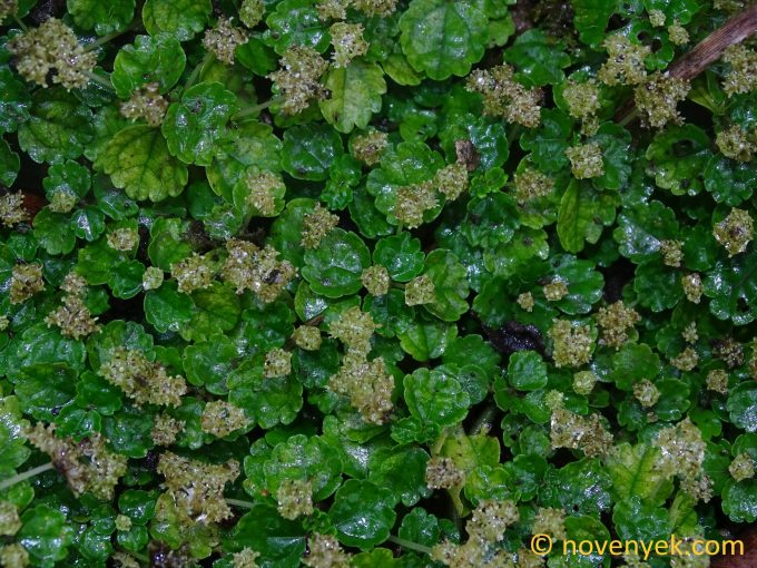 Image of undetermined plant Guadeloupe Pilea (2)