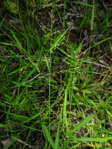 Image of undetermined plant Guadeloupe Poaceae