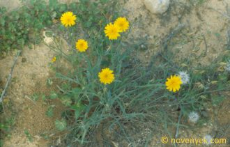 Image of undetermined plant Mediterranian Asteraceae