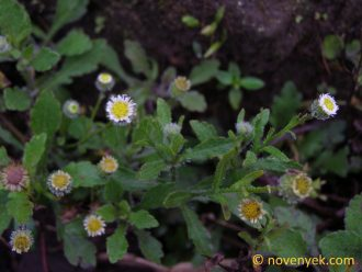 Image of undetermined plant Nicaragua Asteraceae