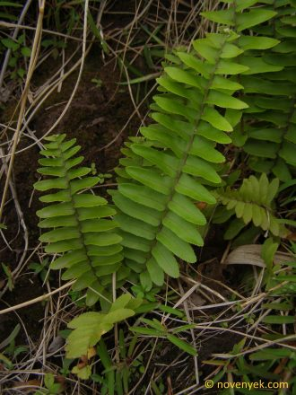 Image of undetermined plant Nicaragua Pteridophyta (5)