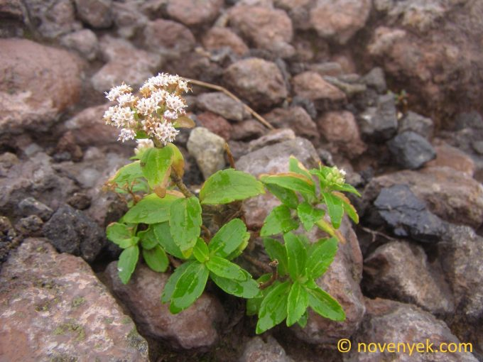Image of undetermined plant Nicaragua Stevia