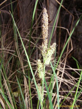 Image of undetermined plant Spain Andalusia Carex 1