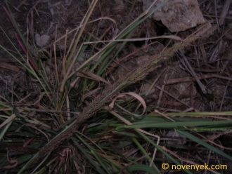 Image of undetermined plant Thailand Poaceae (1)