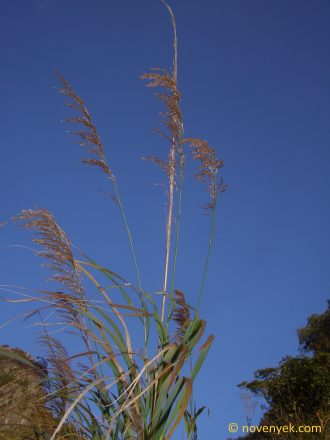Image of undetermined plant Thailand Poaceae (3)