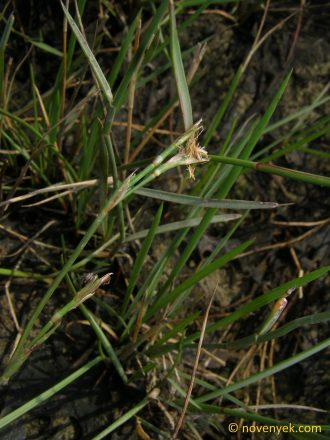 Image of undetermined plant Thailand Poaceae (5)