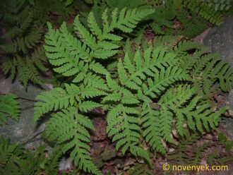 Image of undetermined plant Thailand Pteridophyta (1)